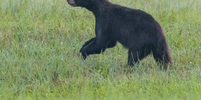 Whistler's Bears