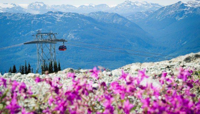 Alpine Fireweeds blooming. Photo - Mike Crane