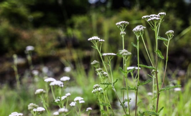 Yarrow standing proud. Photo - Whistler Reservations