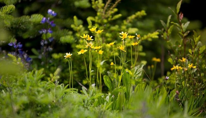 Bright yellow buttercups. Photo - Abby Cooper